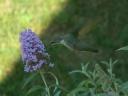 female ruby-throated hummingbird feeding on butterfly bush