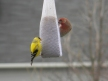 Finches feed on nyjer seed