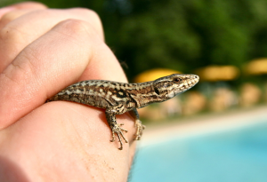 a common wall lizard, Avignon, France.  Image credit: ReptileRevolution.com