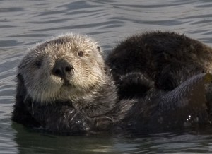 Sea otter with kelp Image sourced through Wikipedia