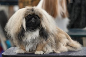 Pekingese breed, show ready