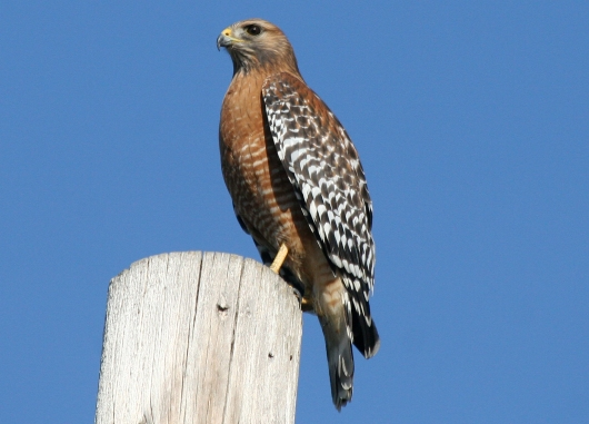 Red-shouldered_hawk_image