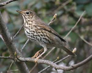song thrush, northern Europe