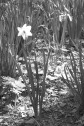 The Daffodil Trail, Furnace Run Metro Park, Richfield, OH, 2004. Image by C. L. Tangenberg