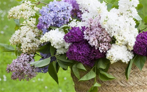 lilac_multicolor_in_basket