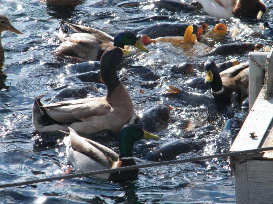 ducks_on_fish