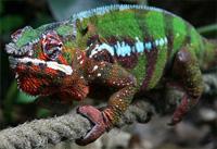 panther-chameleon