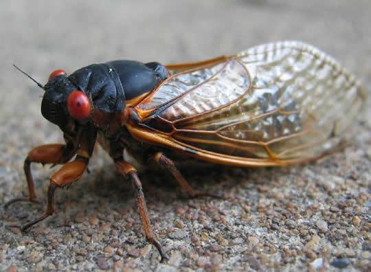 cicada83
