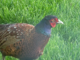 male common pheasant, outside breakfast room, Daviot Lodge, Daviot Lodge, Inverness-shire