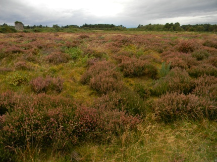 heathery moor, Culloden Battlefield, Inverness-shire
