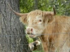 """Highland cow, or """"coo"""""""