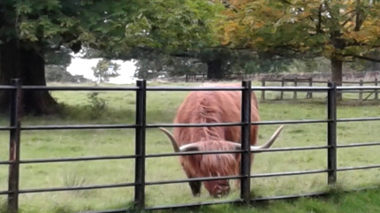 Highland cow in Pollok Country Park, image by C. L. Tangenberg