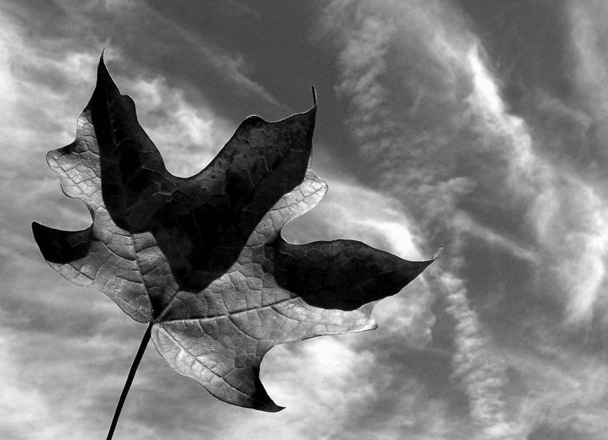 leaf-sky-black-white-crop-auto-contrast-less-bright