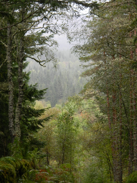 Carie Forest, Black Wood of Rannoch, south of Loch Rannoch. Image C. L. Tangenberg