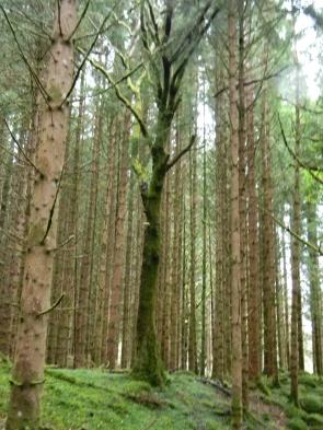 Scots pines, Black Wood of Rannoch, Carie Forest Park. Image C. L. Tangenberg