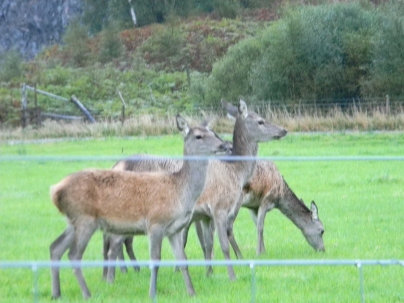 red deer, area of Loch Rannoch. Image C. L. Tangenberg