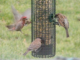 finch, sparrow, backyard staples
