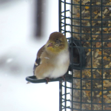 IMG_0254_edits-goldfinch-yellow-eye-squared