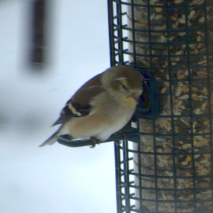 IMG_0256_edited-goldfinch-1-sq
