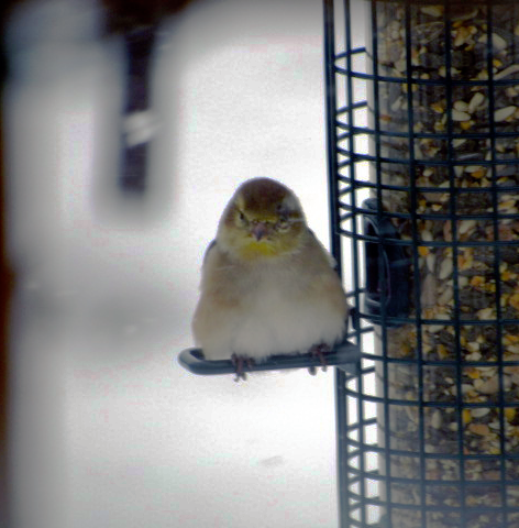 IMG_0258_edits-goldfinch_auto-equalize_eye-visible