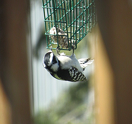 female downy woodpecker, outer tail bars visible