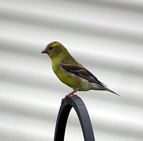 a brief description of the american goldfinch The american goldfinch is the state bird of washington it is common throughout the lowlands of washington, often coming to bird feeders the male in breeding plumage is bright yellow with a black forehead, wings, and tail.