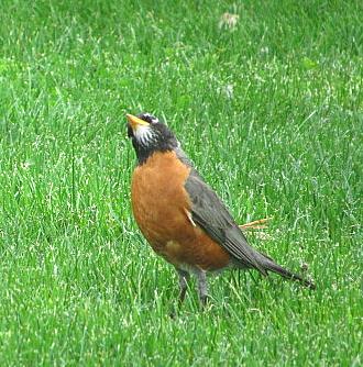 American robin hunting