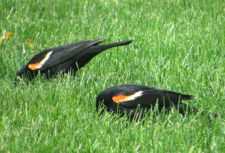 IMG_0709_male-blackbird-pair-grass-edits