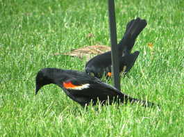 IMG_0715_male-blackbird-pair-grass-edits