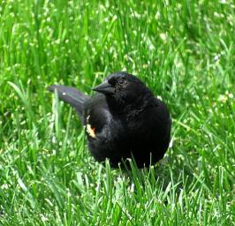 IMG_0811_blackbird_curve_edits