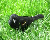 IMG_0821_blackbird-grass-edits