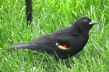 IMG_0832_blackbird-grass-edits