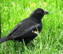 IMG_0843_blackbird-grass-edits
