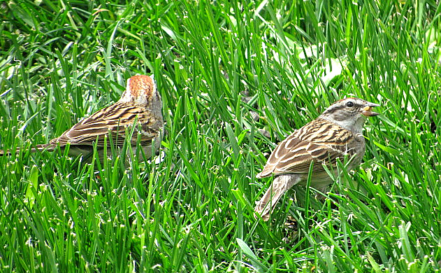 chipping sparrow males