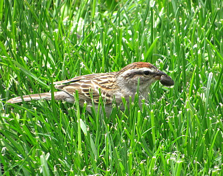 male chipping sparrow