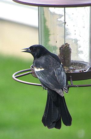 IMG_0908_blackbird-feeder-fantail-edits
