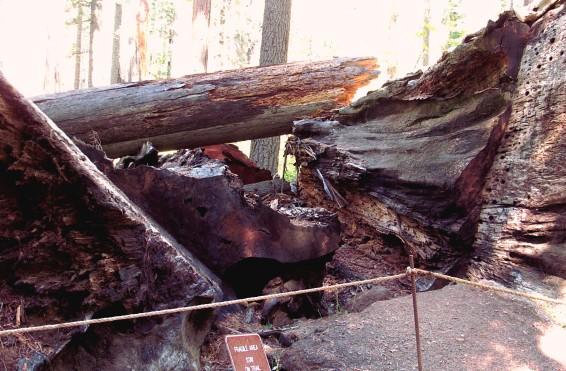 Fallen-Pioneer-Cabin-Tree-pile_2018-10-06_edits-IMG_6331