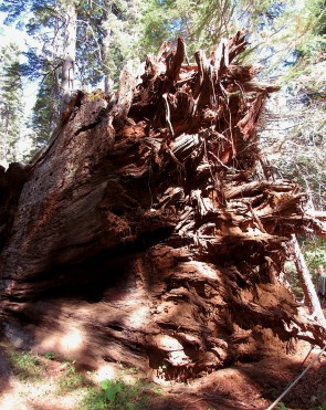 Fallen-Pioneer-Cabin-Tree-roots-2018-10-06_edits-IMG_6332