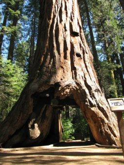 Photo courtesy of Calaveras Big Trees Association FB page.